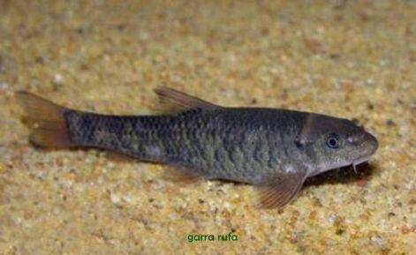 pikkelysömör kezelése garr hal)